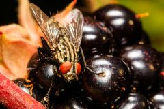 Horse fly on the blackberry stock photo