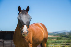 Horse with Fly Screen. A horse on a farm stand in front of a farming landscape with a dark fly screen on the face as it looks towards the viewer Royalty Free Stock Photo
