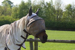 Horse with fly screen hood Royalty Free Stock Image