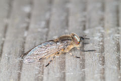 Horse Fly Royalty Free Stock Images