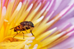 Horse fly stand over water lily Stock Image