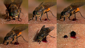 Horse-fly, Tabanidae which are full and satisfied. Stock Photo