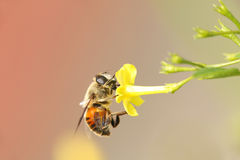 Horse fly and yellow flower in soft mood Stock Images