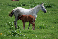 Horse and Foal Stock Images