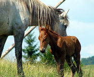 Horse and foal. Horse and young foal on field in countryside Stock Photography