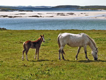 Horse & Foal. Galway Ireland coastal farm with mare and foal stock images