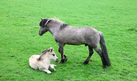Horse with foal. A gray horse with foal with a white foal on green grass Stock Images