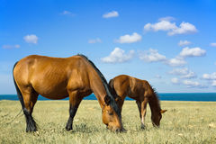 Horse with a foal. In the steppe Royalty Free Stock Photo