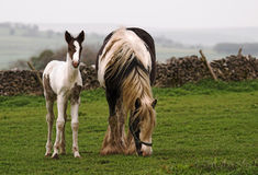Horse and Foal. In an upland setting Royalty Free Stock Photos