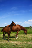 Horse with foal. Adult sorrel horse with small proud foal royalty free stock images