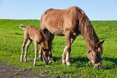 A horse and a foal Royalty Free Stock Photo