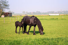 Horse and foal. Beautiful black frisian horse and foal in a sunny spring meadow Royalty Free Stock Photo