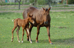 Horse with foal. A beautiful female brown wild horse with foal, with cute expression in the face, standing and watching to his mother on a paddock of a farm royalty free stock images