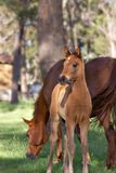 Horse and foal. A young horse foal looks at the camera in front of the mare Royalty Free Stock Photos