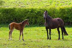 Horse and the foal. On the meadow Royalty Free Stock Image