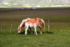 Horse with foal. Horse eating grass in a field whilst feeding its foal Royalty Free Stock Photo