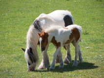 Horse And Foal Royalty Free Stock Image