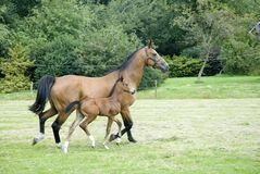 Horse with foal Stock Photo