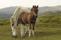 Horse with foal. A grazing free-living pony with foal Royalty Free Stock Image