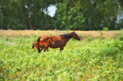 Horse with foal. The photo shows a horse with foal on pasture Royalty Free Stock Photo