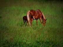 Horse with foal. A grazing brown horse with foal standing on a green meadow Royalty Free Stock Images