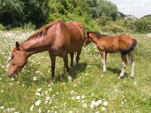 The horse and foal Royalty Free Stock Photography
