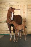 Horse with a foal. Indoors stock photography