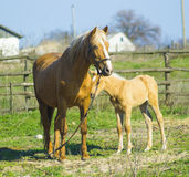 A horse with a foal. Animals horse with a foal. A pet mammal far Stock Photo
