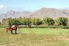 A horse with a foal in the background of the mountains. Horse with a foal in the background of the mountains autumn Stock Images