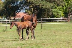 Horse Foal Colt Stud Farm Stock Image