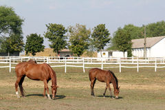 Horse and foal in corral farm Stock Photos