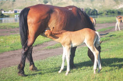 Horse. The foal is drinking milk from a horse Royalty Free Stock Images