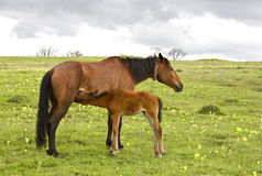 Horse and foal drinking milk Royalty Free Stock Image