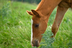Horse Foal eating in field Stock Photos