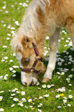Horse foal eating grass Royalty Free Stock Images