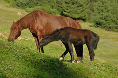 Horse and foal eating the grass on the alpine meadow Royalty Free Stock Photography