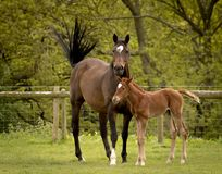 Horse and foal in the evening sun stock image