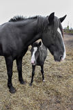 Horse and foal on the farm Stock Photography