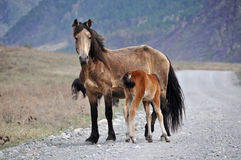 Horse foal feed mountain road Stock Photography