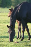 Horse and foal in field Stock Photography