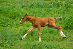 Horse Foal  in field. Horse Foal running in field on a summer pasture Stock Photo