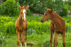 Horse Foal  in field. Horse Foal standing in field on a summer pasture Royalty Free Stock Images