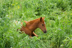 Horse Foal in field. On a summer pasture Royalty Free Stock Images