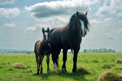 Horse and foal. In a field to pasture in spring on the fresh grass Royalty Free Stock Photo