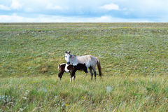 Horse and foal. Free wild horse and foal on boundless spaces of steppe Royalty Free Stock Photos