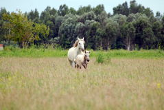 Horse with foal gallop across the field Royalty Free Stock Image