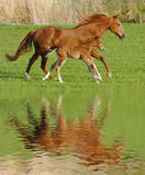 Horse and foal in gallop. Mare horse in gallop with its foal mirroring at water surface Royalty Free Stock Image