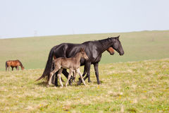 Horse with a foal Royalty Free Stock Photography