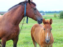 Horse with foal. Graazing on the field.  The focus of the foal Stock Photography