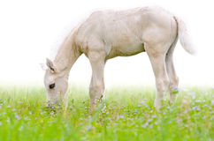 Horse foal in grass isolated on white Royalty Free Stock Photography